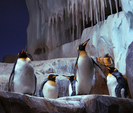 king-penguin-3865238_1280
