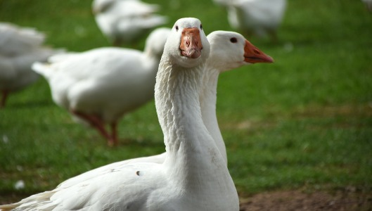 geese-1988351_1280